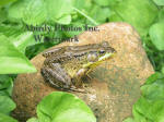 Green Frog On Rock Surrounded By Violet Leaves