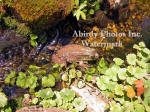 Mother Frog In Brook Afternoon Light