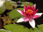Green Frog Floating And Red Water Lily Flower