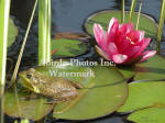 Green Frog Male With Red Water Lily
