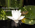 White Water Lily And Frog