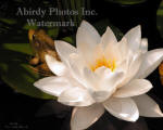 White Water Lily Flower And Frog In Shadow