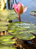 Frog And Red Water Lily Bud Evening Light