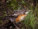 American Robin Fledling Stretching Wing