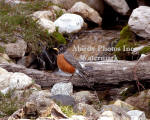 Robin Male In Front Of Waterfall