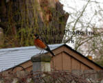 American Robin On Fence Post In Early Spring