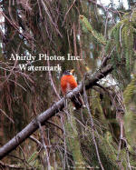 American Robin On Pine Tree Branch