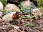 Robin Male Leaning Forward With Violets