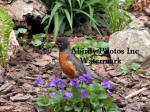 American Robin Male Behind Violets