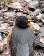 American Robin Looking Over Back