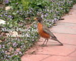American Robin On Patio Block Path With Spring Flowers