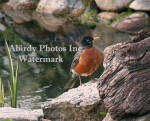 American Robin Male Standing In Front Of Pond Head Back
