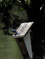 Blue Bird - On Nest Box By Lake