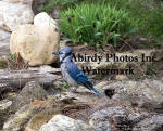 Wet Blue Jay By Brook