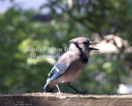 Blue Jay Calling To Others