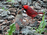 Cardinal Male Feeding Baby While On Bark