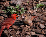Cardinal Male Ready to Feed Baby