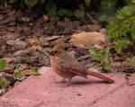 Cardinal Baby on Paver Brick
