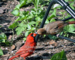 Cardinal Feeding Baby On Chair Leg