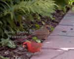 Cardinal Male Baby Looking For Food