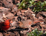 Cardinal Ready to Feed Baby