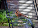 Cardinal Baby On Arm Of Chair