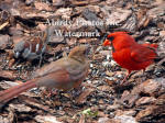 Cardinal Male Baby and Sparrow
