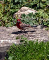 House Finch Male On Stone Step