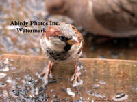 Wet Male House Sparrow Standing On Step