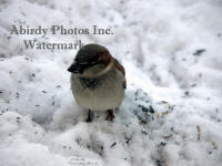 Male House Sparrow In Snow Straight Of Camera