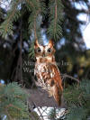 Red Screech Owl On Evergreen Branch