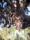 Red Screech Owl Behind Evergreen Leaves