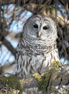 Barred Owl Looking Down From Branch