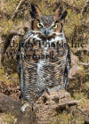 Great Horned Owl On Branch