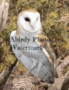 Barn Owl Evergreen Background