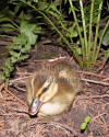 New Life Duckling