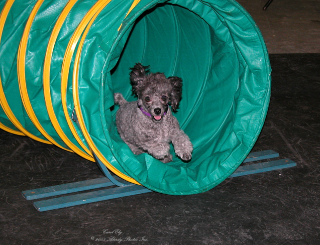 Abby Coming Out Of Agility Tunnel
