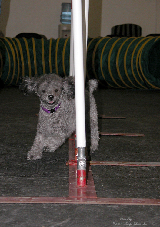 Abby Doing Weave Poles